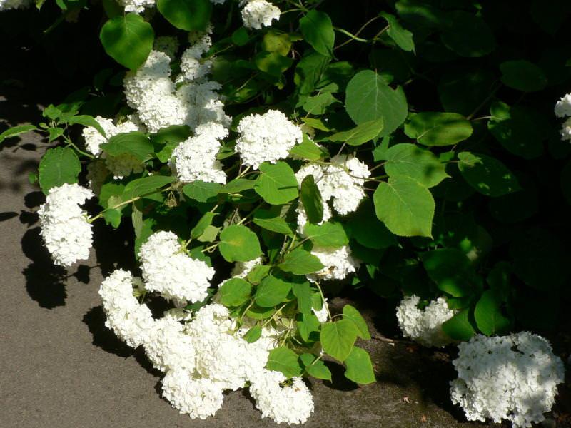 Arborescens 'Grandiflora'