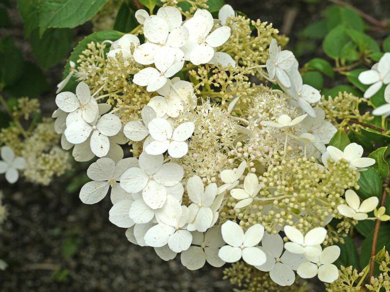 Paniculata 'Brussels Lace'