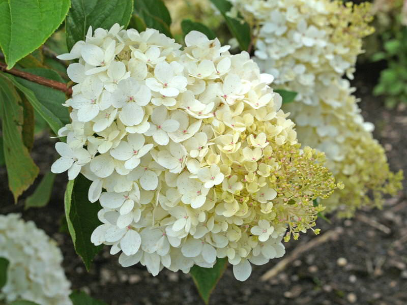 paniculata 'Burgundy Lace'    (De Belder)