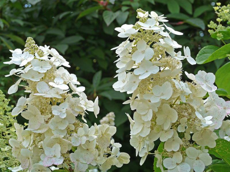 Paniculata 'Floribunda'