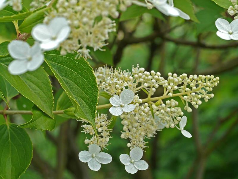 Paniculata 'Kyushu'
