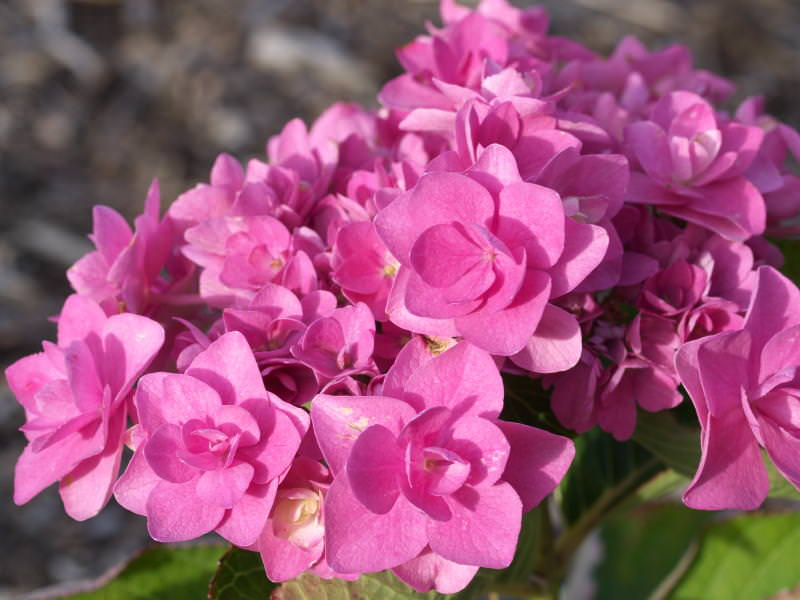 macrophylla  'Romance'