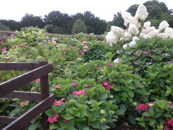 Hydrangea Walled Garden Gates to Open