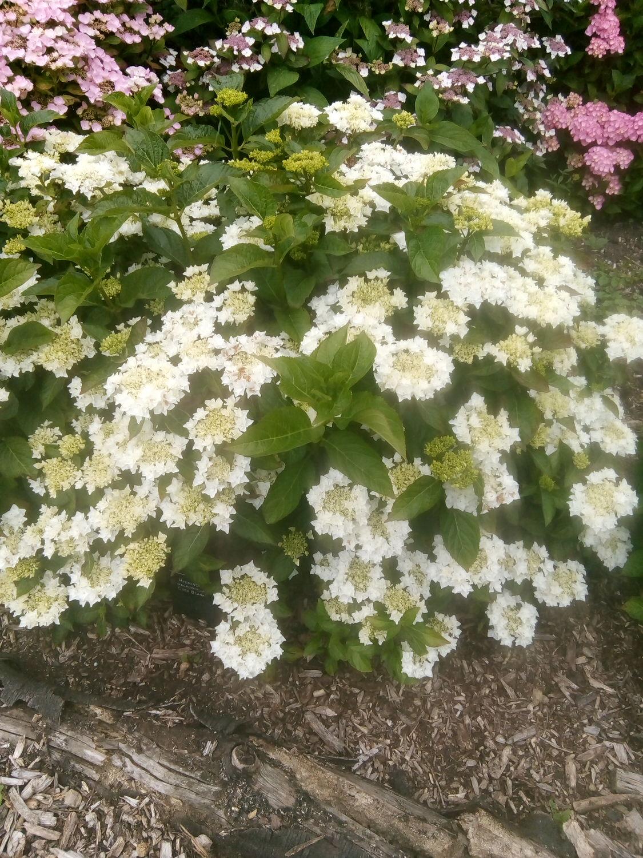 macrophylla 'Coco Blanc'