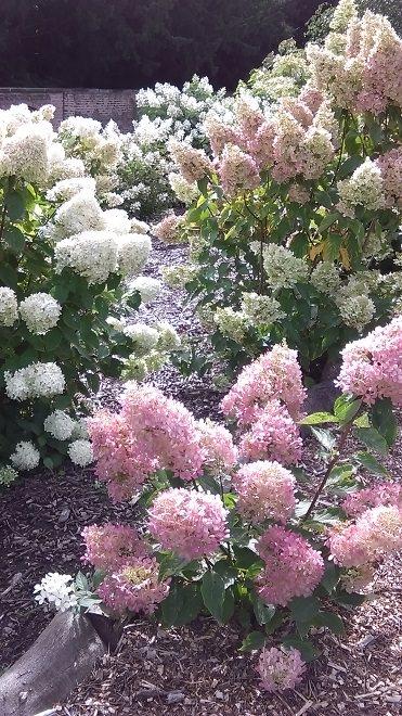 Hydrangea paniculata looking good
