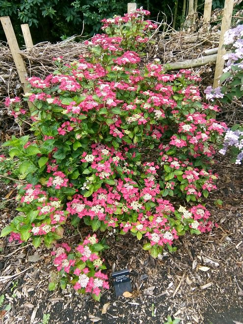 Hydrangea macrophylla Lady in Red