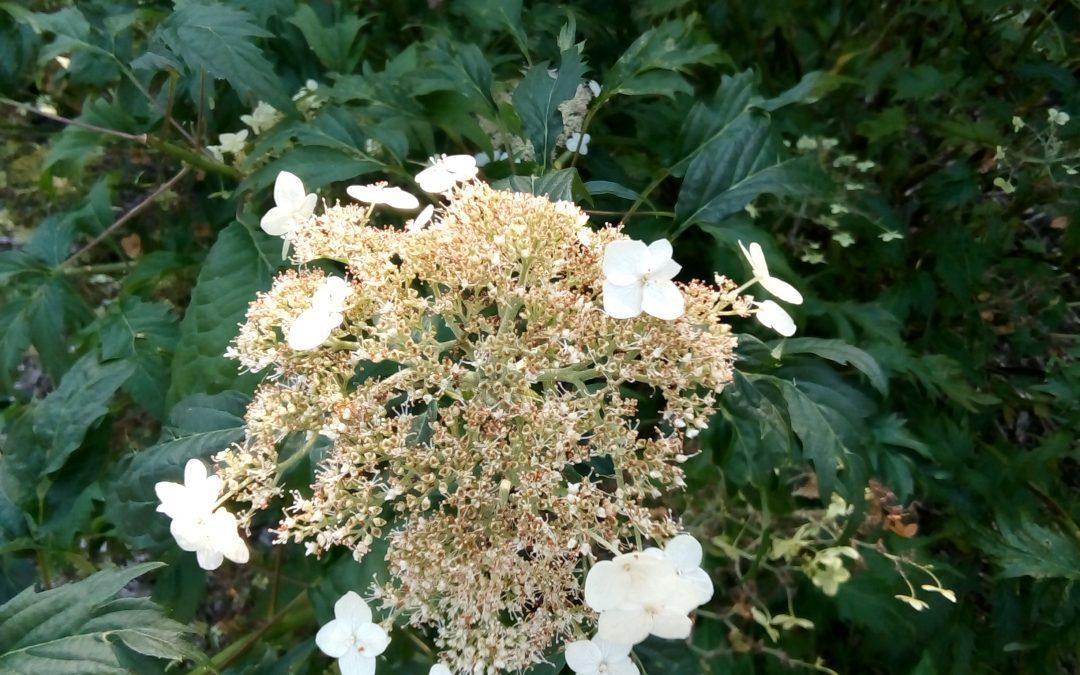 Arborescens 'Emerald Lace'