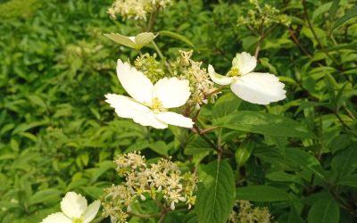 Hydrangea scandens Konteriji ki Nakafu